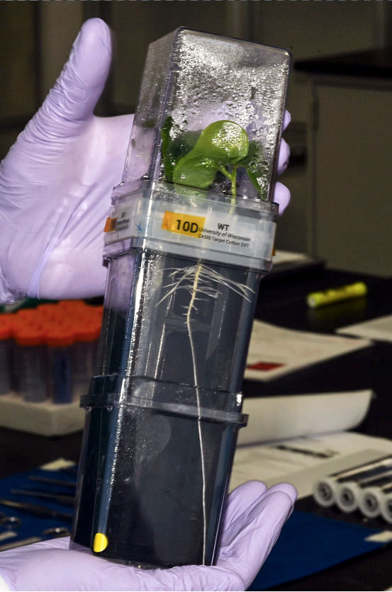 A cotton plant in the growth chamber, one of the experiments that will be delivered on the CRS-22 mission
