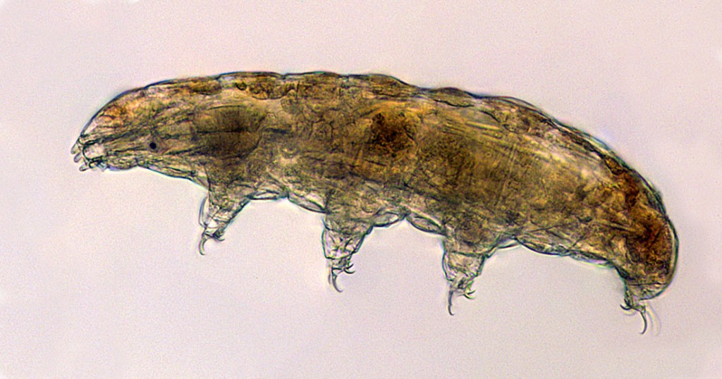A light micrograph of a typical terrestrial tardigrade of the Milnesium genus seen at 40X magnification, one of the experiments that will be delivered on the CRS-22 mission